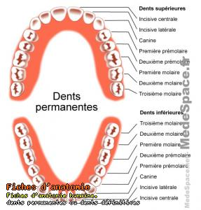dents_permanentes.jpg